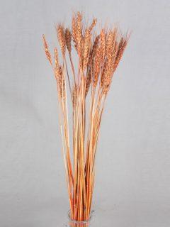 Wheat-Grass-Direct-Light-Orange