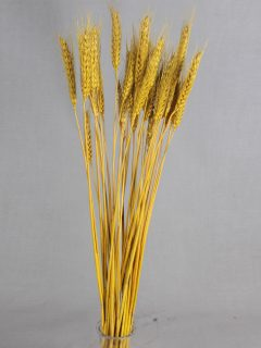 Wheat-Grass-Direct-Yellow